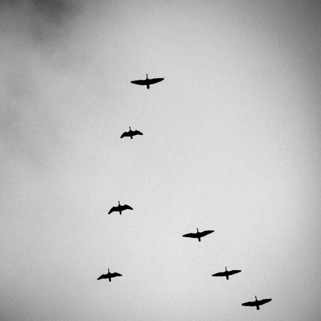Cackling Geese Over the Refuge